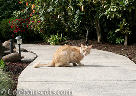 Whittles visiting the garden - 2016 © Colehauscats.com
