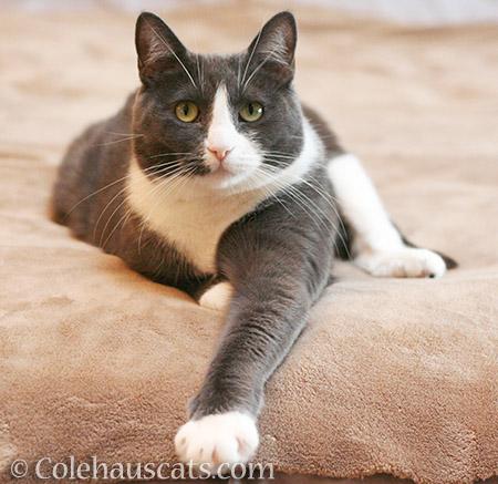 Tessa - 2016 © Colehauscats.com