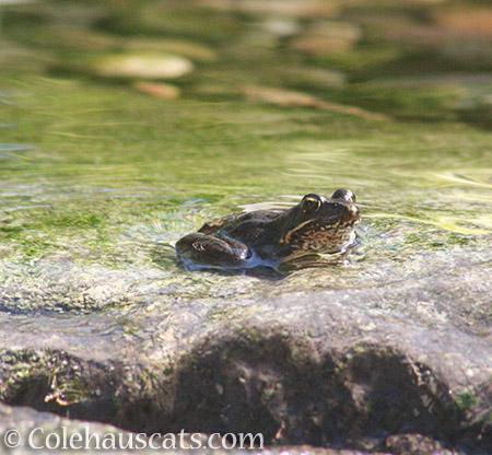 Joe the Frog - 2016 © Colehauscats.com