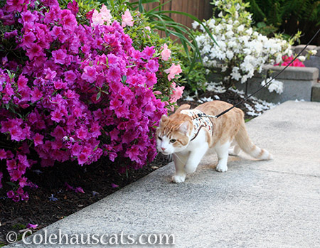 Bypassing the magenta azalea - 2016 © Colehauscats.com