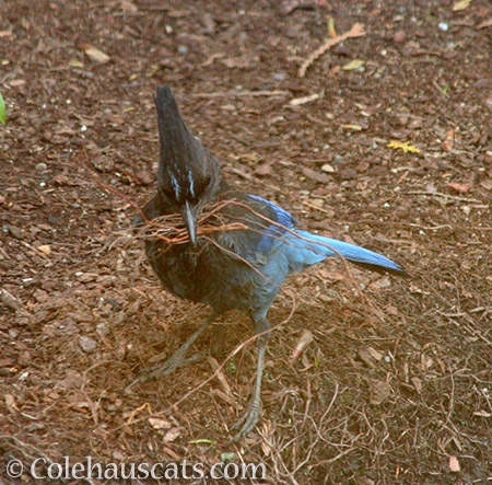 Stellar Jay helping clean up - 2016 © Colehauscats.com