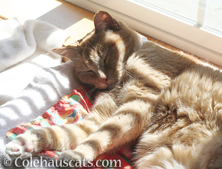 Sun Stripey Miss Itty - 2016 © Colehauscats.com