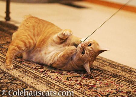Zuzu - © Colehauscats.com