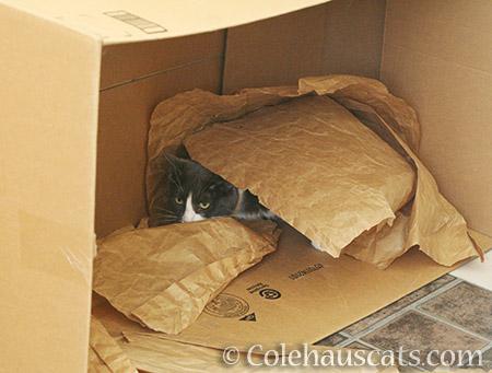 Hiding Tessa - 2016 © Colehauscats.com