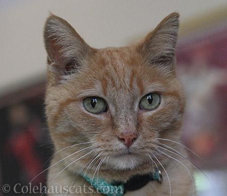 Miss Itty - 2016 © Colehauscats.com