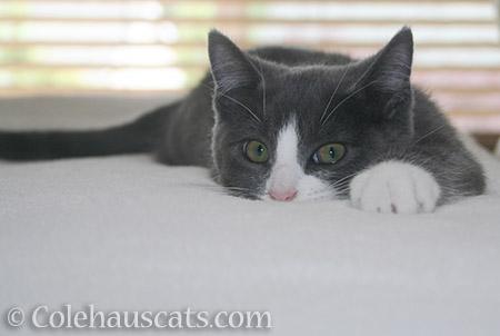 Baby Tessa - 2012-2016 © Colehauscats.com