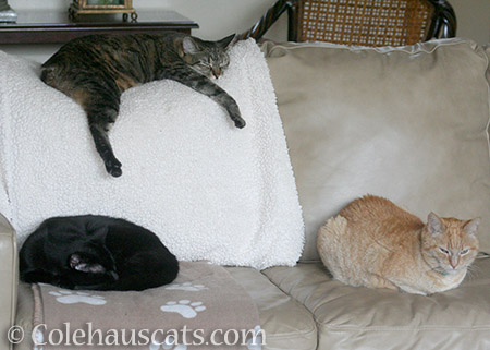 Sofa Buddies Olivia, Viola, and foster Miss Itty - 2016 © Colehauscats.com