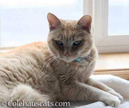 Sweet, pretty Miss Itty - 2016 © Colehauscats.com
