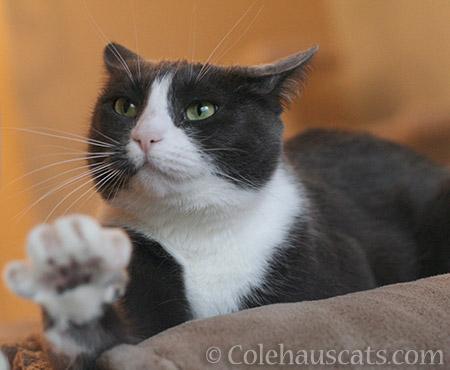 Tessa - 2012-2016 © Colehauscats.com