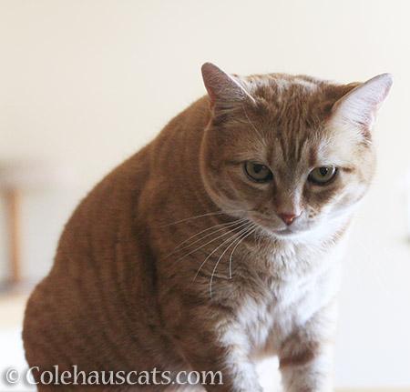 Grumpy Zuzu - 2016 © Colehauscats.com