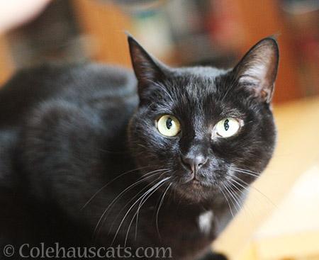 Shiny Olivia - 2016 © Colehauscats.com