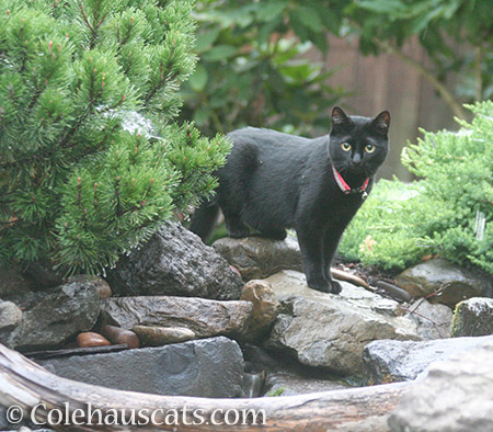 The saddest garden panther - 2016 © Colehauscats.com