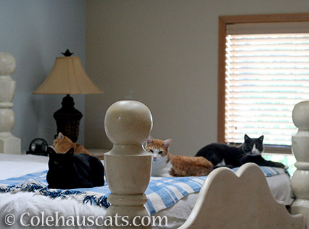 From front left: Olivia, Zuzu (looking other way), Quint, and Tessa - 2016 © Colehauscats.com