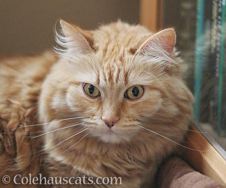 Poofy Pia - 2016 © Colehauscats.com