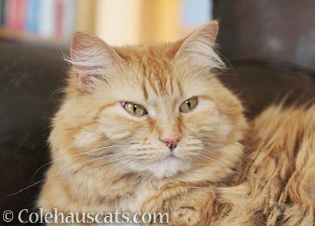 Pretty Pia - 2016 © Colehauscats.com