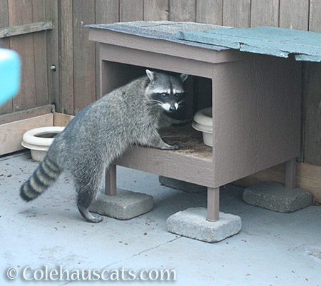 Late morning raccoon visitor - 2016 © Colehauscats.com