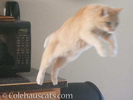 Sunny's big leap - 2016 © Colehauscats.com