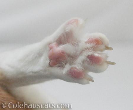 Quint's toesies - 2016 © Colehauscats.com
