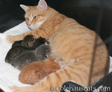 Mama Zuzu and her Niblets - © Colehauscats.com