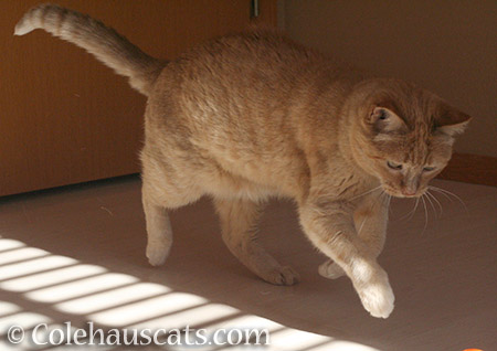 Playful Sunny - 2016 © Colehauscats.com