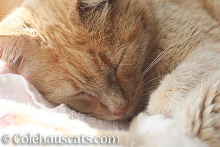 Sweet Sleeping Sunny - 2016 © Colehauscats.com