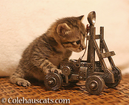 Kittens with trebuchets. What could go wrong? - 2013-2016 © Colehauscats.com