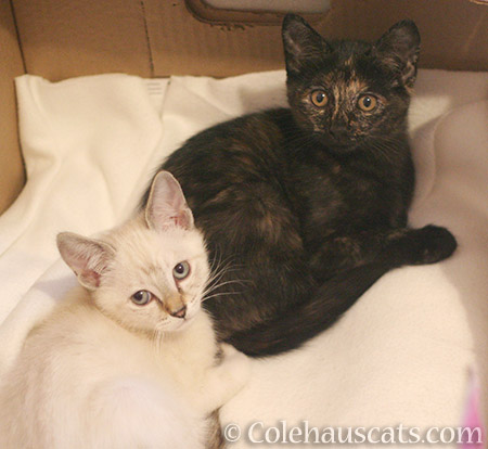 Honorary Niblet Winter and sister Illy adopted together - 2013-2016 © Colehauscats.com