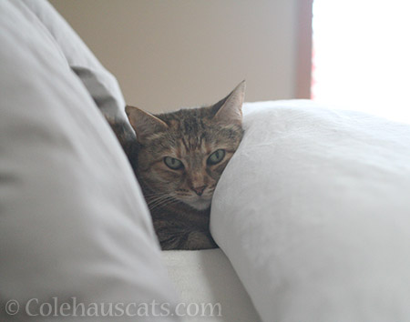 Morning bed cat Ruby - 2016 © Colehauscats.com
