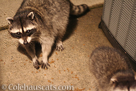 4th generation raccoon family Daisy and one of her babies - 2016 © Colehauscats.com