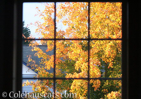 Fall Leaves outside our window - 2016 © Colehauscats.com