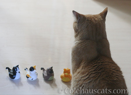 Sunny and her Kitty Duck Minions - 2016 © Colehauscats.com