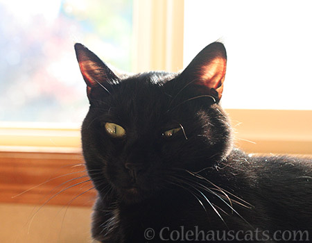 Olivia, Linty House Panther - 2016 © Colehauscats.com