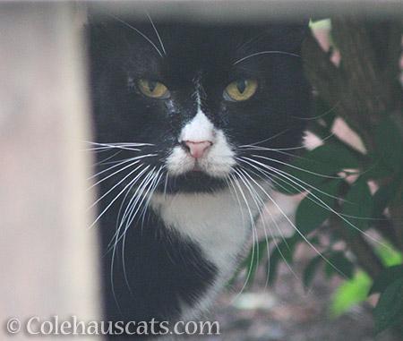 Neighbor kitty Reenie - 2016 © Colehauscats.com