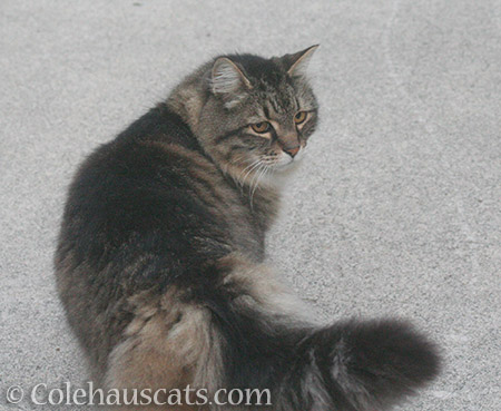 Neighborhood cat Scruffy - 2016 © Colehauscats.com