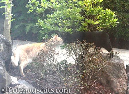 Neighbor cats - 2016 © Colehauscats.com