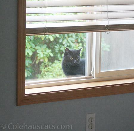 Neighbor cat Zoey peeking in - 2016 © Colehauscats.com