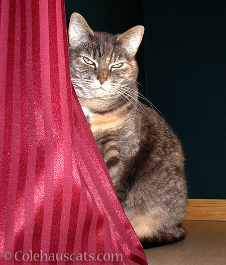 G.B. (Gray Baby) - © Colehauscats.com