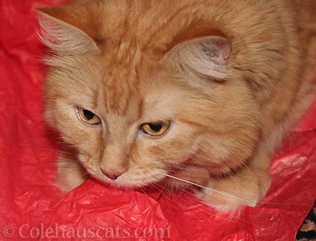 Pia Bean guards her Secret Paws crinkle paper - © Colehauscats.com