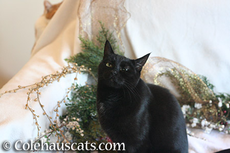 A very skeptical Christmas - © Colehauscats.com