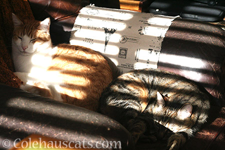Quint and Viola sunning in stripey sun - © Colehauscats.com
