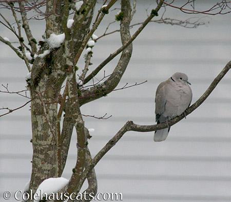 Ringneck Dove - © Colehauscats.com