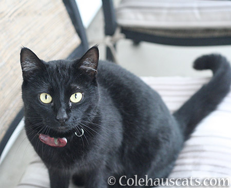 Snowcat Z - © Colehauscats.com