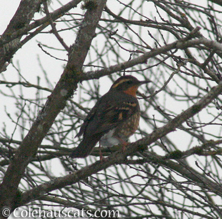 Varied Thrush - © Colehauscats.com
