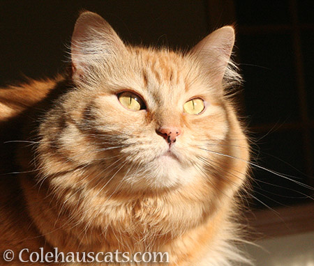 Pretty Pia - © Colehauscats.com