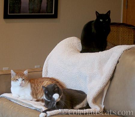 Quint, Tessa, & Olivia - © Colehauscats.com