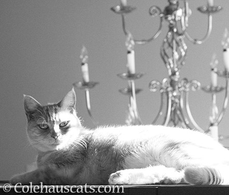 Miss Newton in black and white - © Colehauscats.com