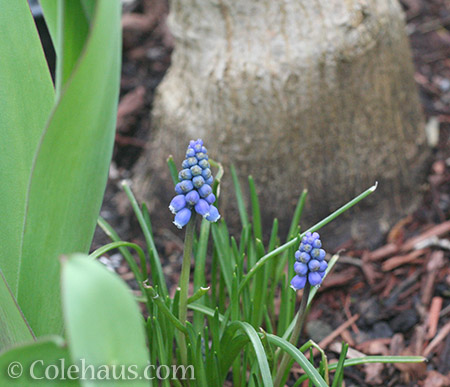 Grape Hyacinths - © Colehaus.com