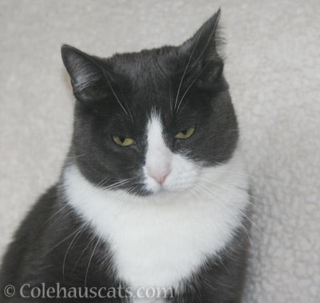 Tessa a.k.a Grumps MacTroublesome - © Colehauscats.com