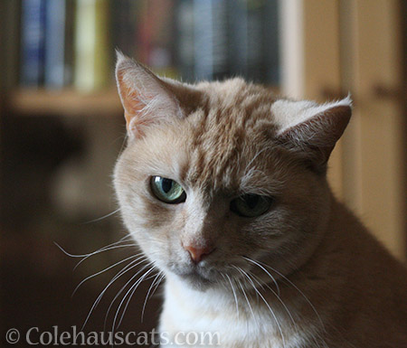 Miss Newton - © Colehauscats.com