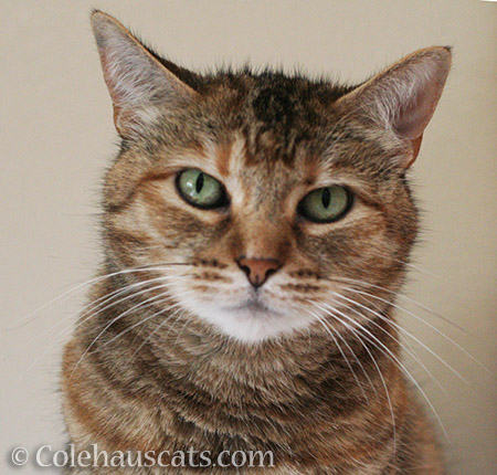 Sweet Ruby Roo - © Colehauscats.com